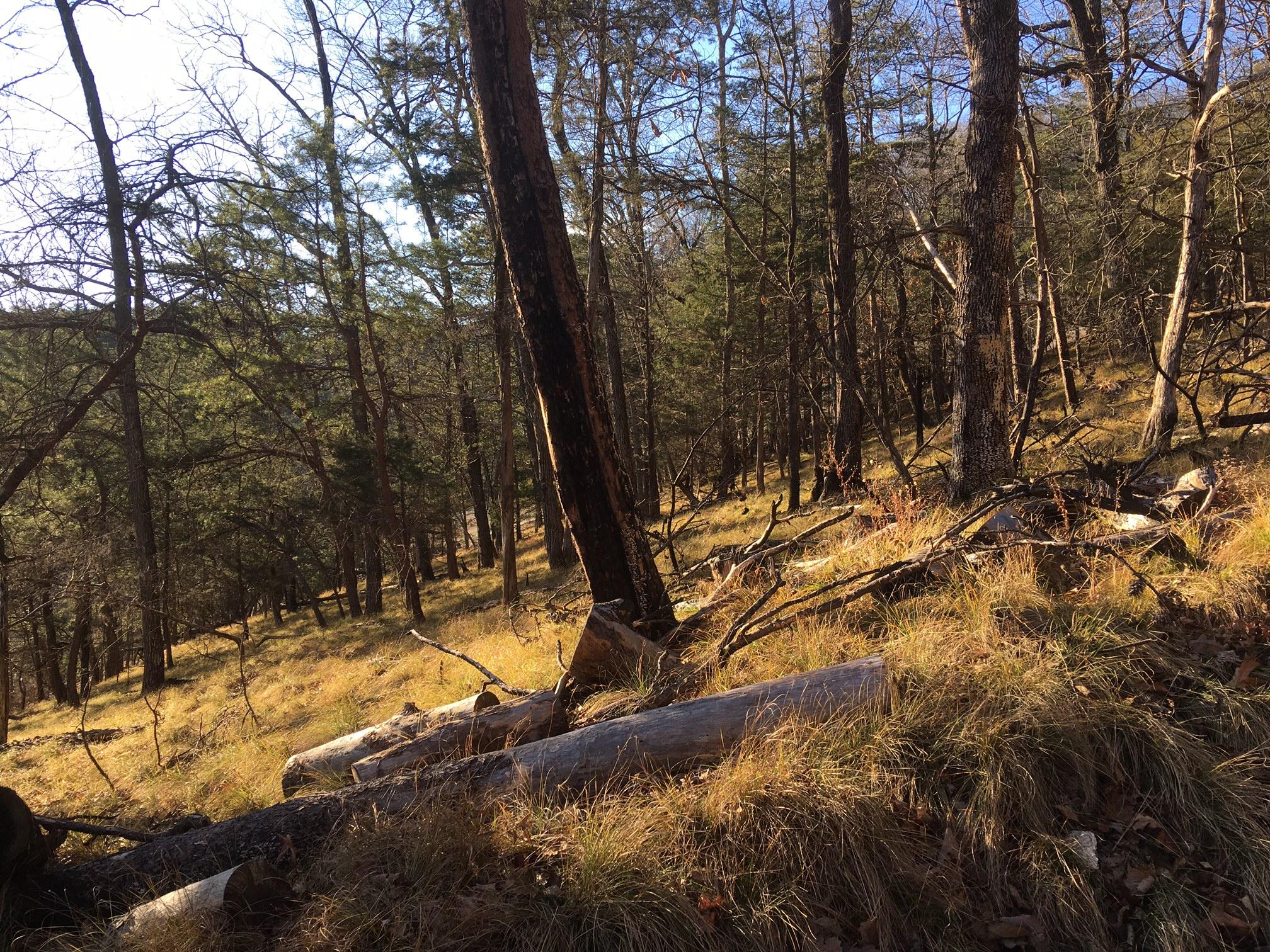 Pine Cedar woodland on Stone Mtn NC